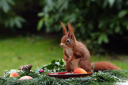 squirrel on fruits during day