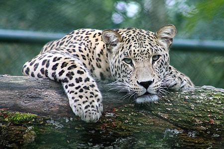 leopard on wood log