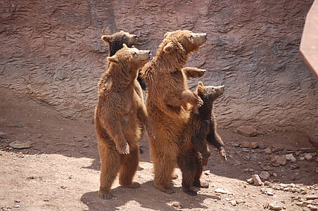 four grizzle bear standing