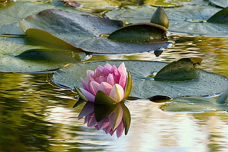 pink flower lily on water at daytime