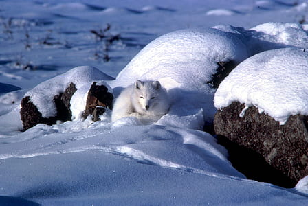 white fox on snow-covered rock