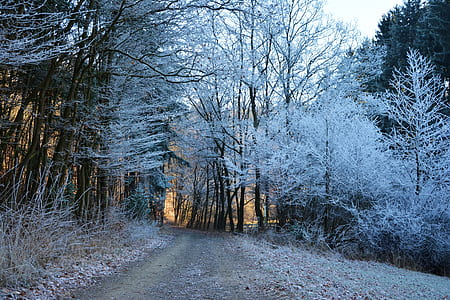 pathway between white leaf tall trees
