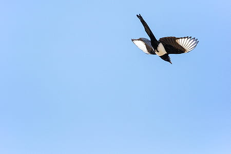 low angle photography of black-billed magpie