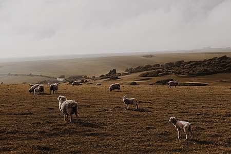 dog watching herd of sheep during daytime