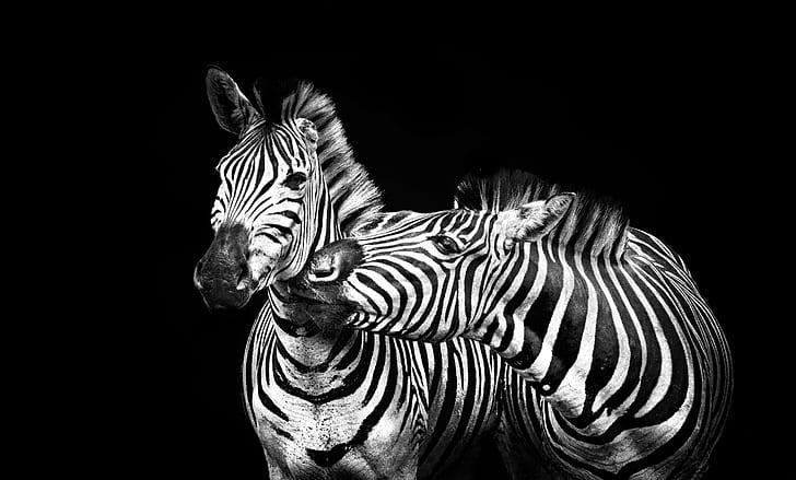 two zebra portrait