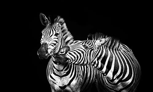two zebra portrait