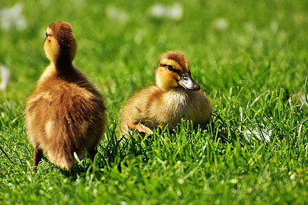 two brown ducklings on green grass
