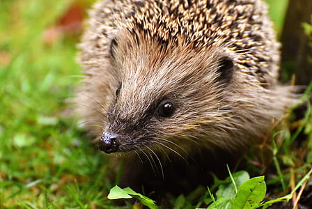 close-up photography of hedgehog on green grass
