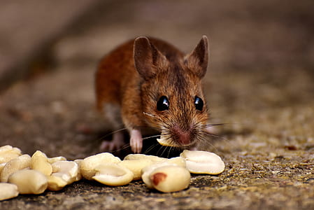 brown mice eating peanut