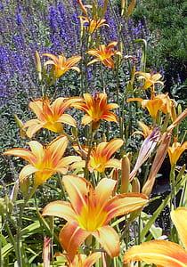 Orange Daylily Flowers in Bloom