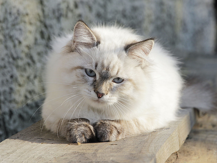 long-coated white cat sitting