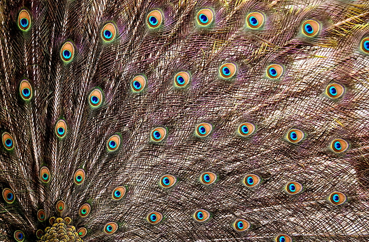 open peacock feathers