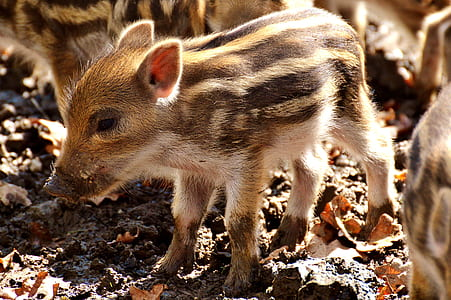 herd of brown and beige boar