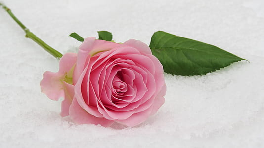 pink rose on white surface