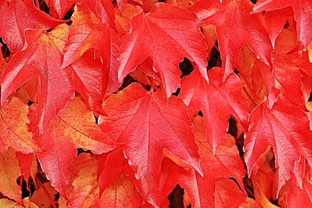 red maple leaf illustration