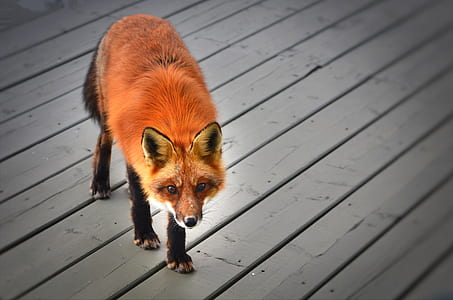 red fox on brown board