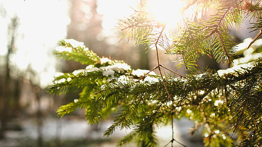 snow covered green pine tree leaves