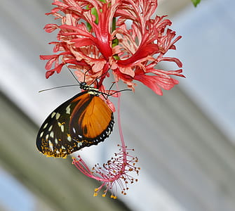 brown and black longwing butterfly perched on coral hibiscus closeup photography
