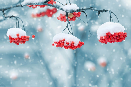 red cherry covered in snow