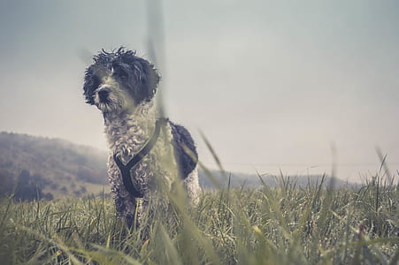 dog, grass, cloudy, meadow, hound, terrier