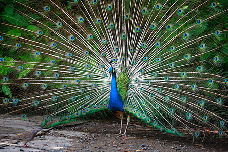 peacock spreading tail