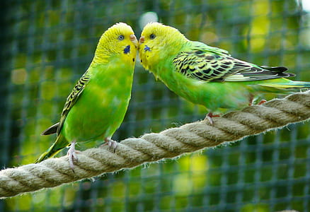 closeup photo of two green budgerigars