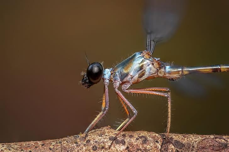 damselfly, insect, odonata, macro, close up, dragonfly
