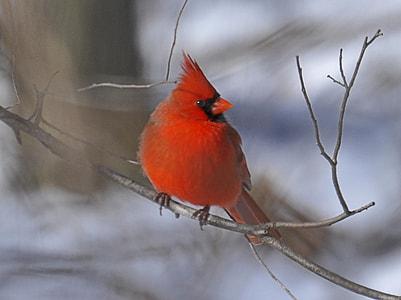 red jay bird on gray tree branch