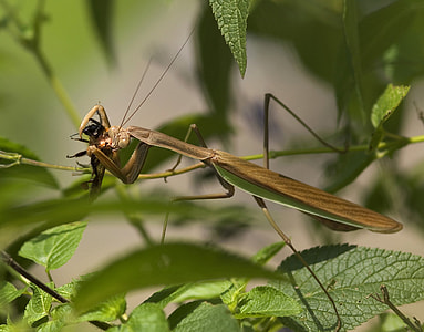close-up photography of brown praying mantis perched on green leaf