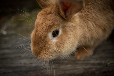 closeup photo of brown rabbit