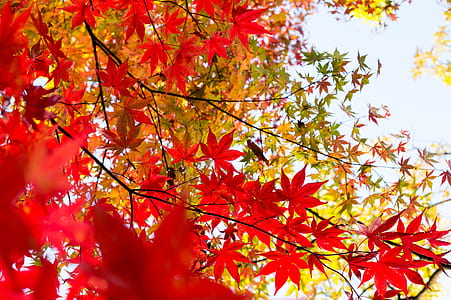 red maple leafed tree