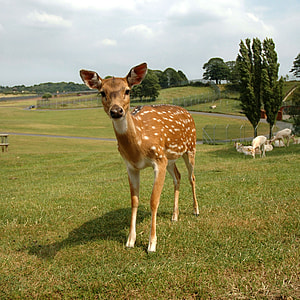 brown and white doe on green grass
