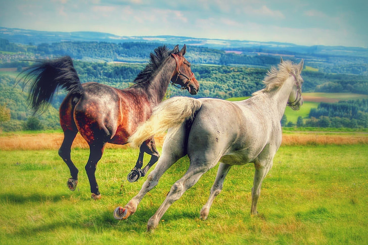 time lapse photography of two white and brown horses running