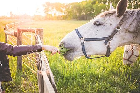 Girl Feeding a Gorgeous White Horse with Grass
