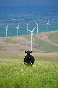 black cow on bed of flowers with windmill background