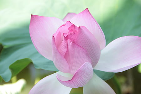 close up photography of blooming pinkish white petaled flower