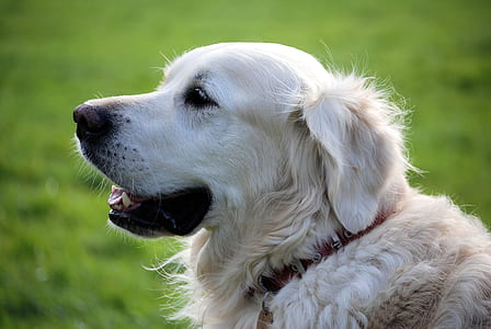 adult English cream golden retriever