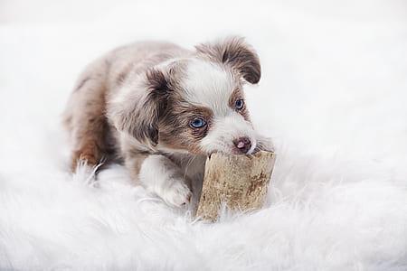 grey and white Australian shepherd puppy on white fleece textile