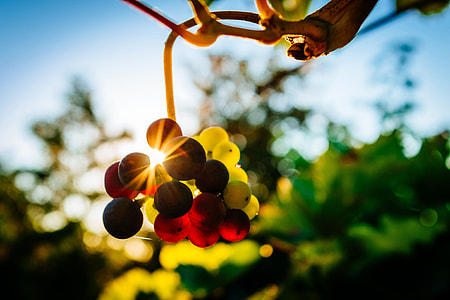 Grapes in a vineyard at sunset