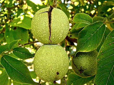 round green fruits hanged on tree