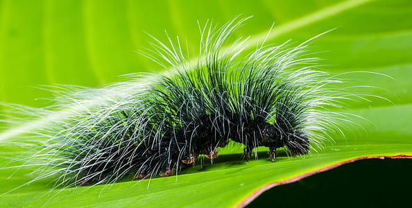 Black and White Hairy Caterpillar on Top of Green Leaf