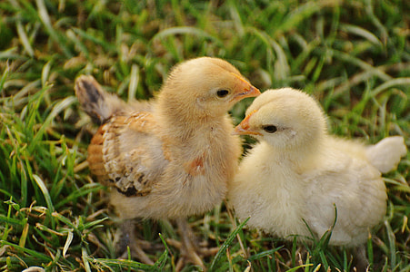 two brown chicks on green grass