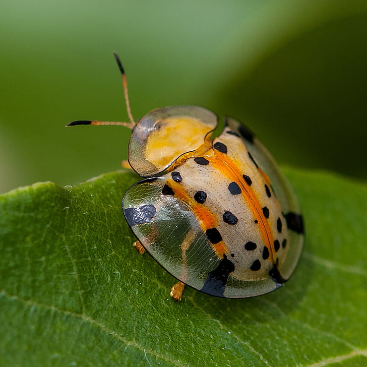 macro photo of spotted shield bug on leaf