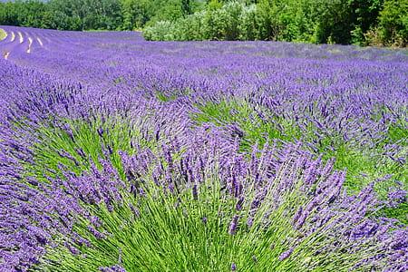 bed of purple lavender flowers