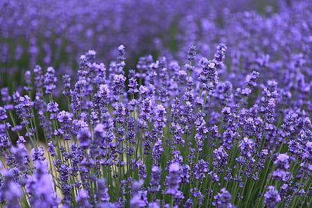 field of lavender flowers