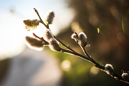 Spring is here! Salix caprea (goat willow)