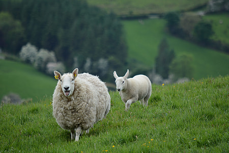 two white sheep