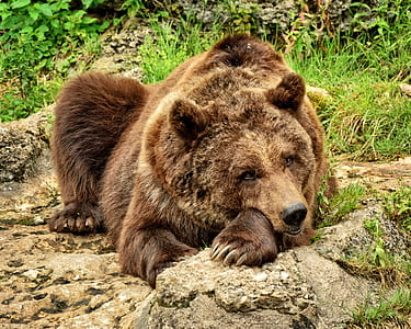 brown bear on brown ground