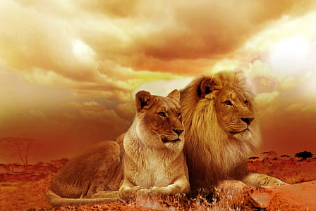lion and lioness sepia photo