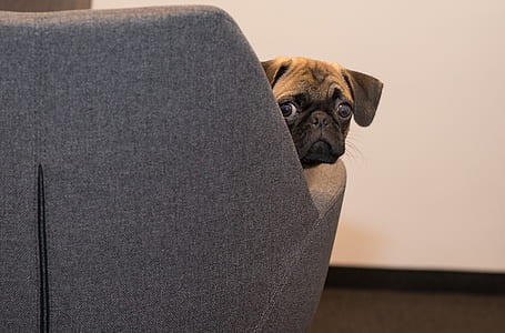 Pug on brown fabric seat